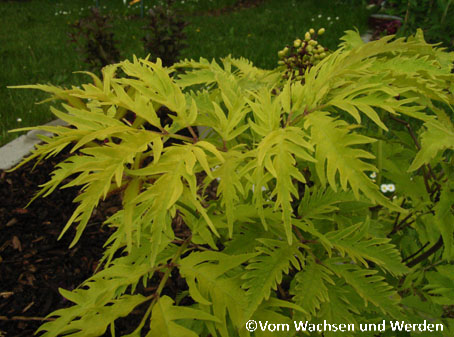 Sambucus racemosa_Sutherlands Gold2wz