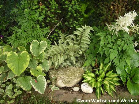 2007-06-05_Athyrium niponicum Metallicumwz