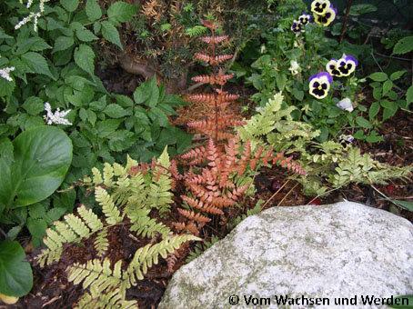 2007-06-05_Dryopteris erythrosora_Austriebwz
