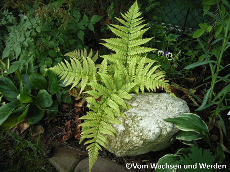 2007-07-19_Dryopteris erythrosorawz