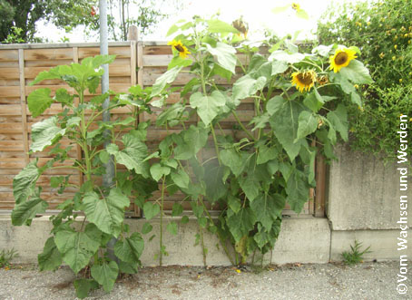 2007-07-25_Sonnenblumen1wz