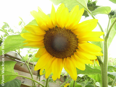 2007-07-25_Sonnenblumen4wz