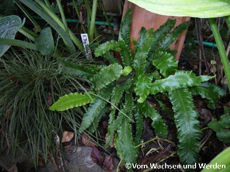 2007-07-31_Asplenium scolopendrium Angustifolia Undulatawz