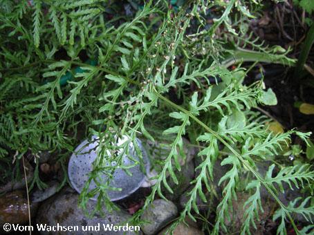 2007-07-31_Drypoteris filx-mas Irgendwaswz