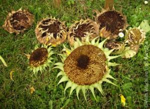 2007-08-18_Sonnenblumenwz