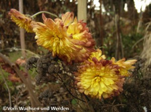 08_2008-01-18_Chrysanthemewz