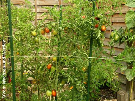 tomatensorten die kleinen mohren vom wachsen und werden. Black Bedroom Furniture Sets. Home Design Ideas