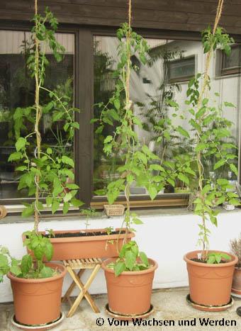 tomaten ende mai vom wachsen und werden. Black Bedroom Furniture Sets. Home Design Ideas