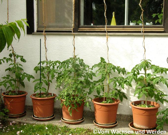 der geschmack der freiheit tomaten auspflanzen vom. Black Bedroom Furniture Sets. Home Design Ideas