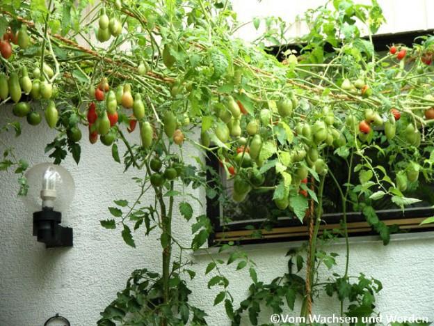 Tomatenanbau-Tipps Archive - Vom Wachsen und Werden