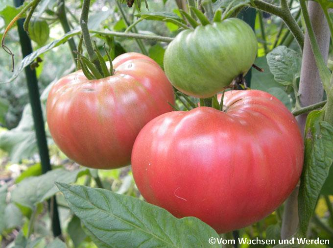 tomatenbasis schnell praktisch vom wachsen und werden. Black Bedroom Furniture Sets. Home Design Ideas