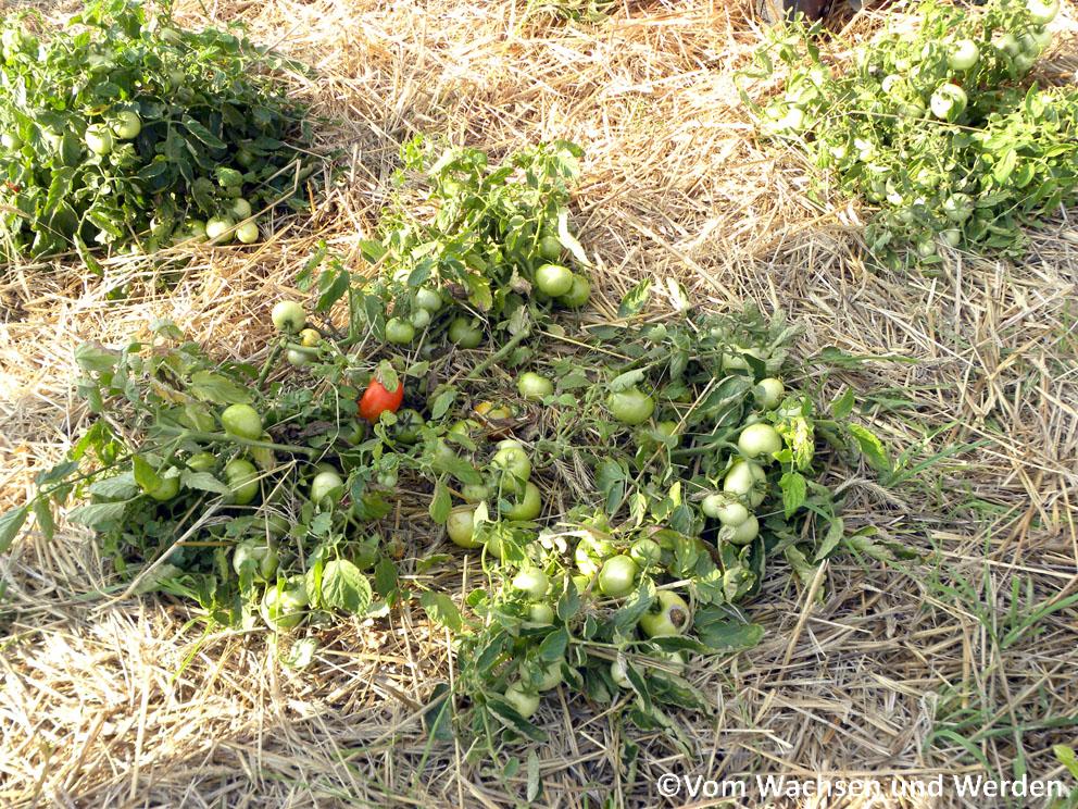tomatenanbau tipps archive vom wachsen und werden. Black Bedroom Furniture Sets. Home Design Ideas