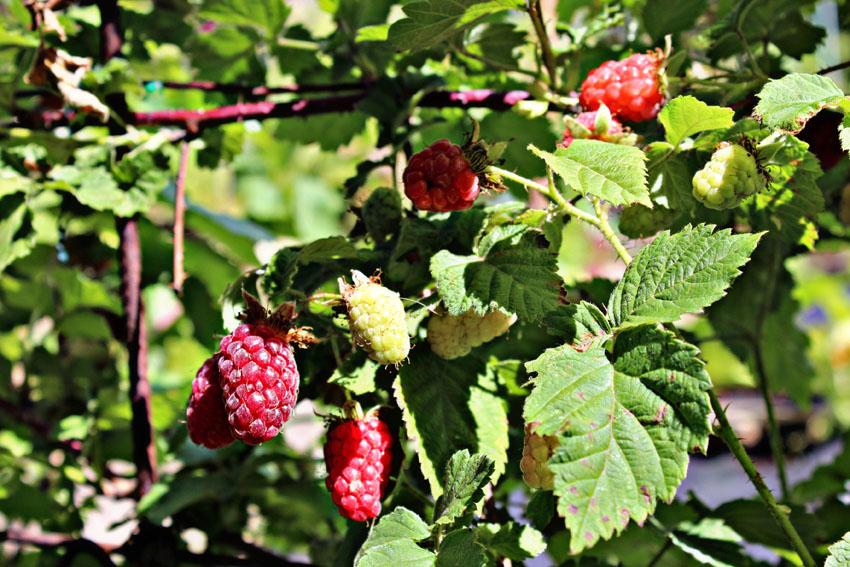 05-red berries1