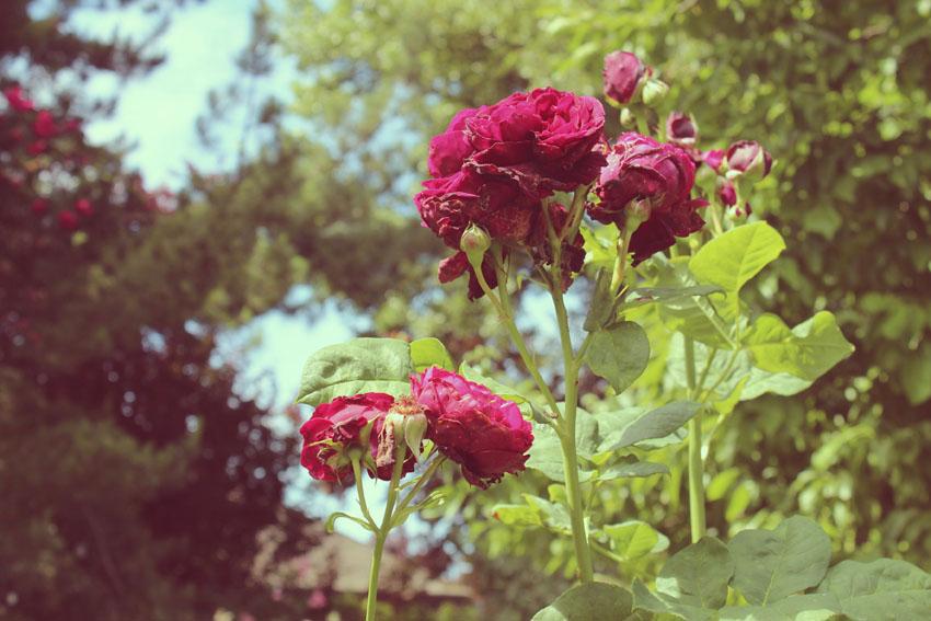 06-red rose1