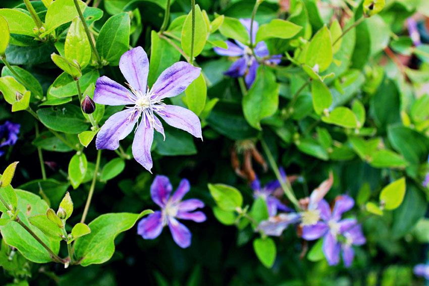 08-purple rose1