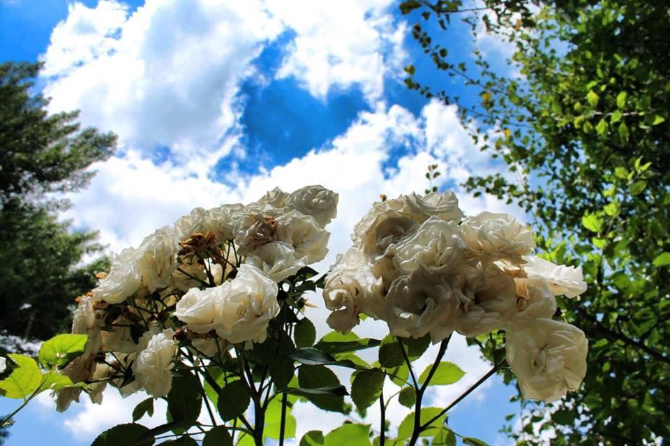 white rose blue sky