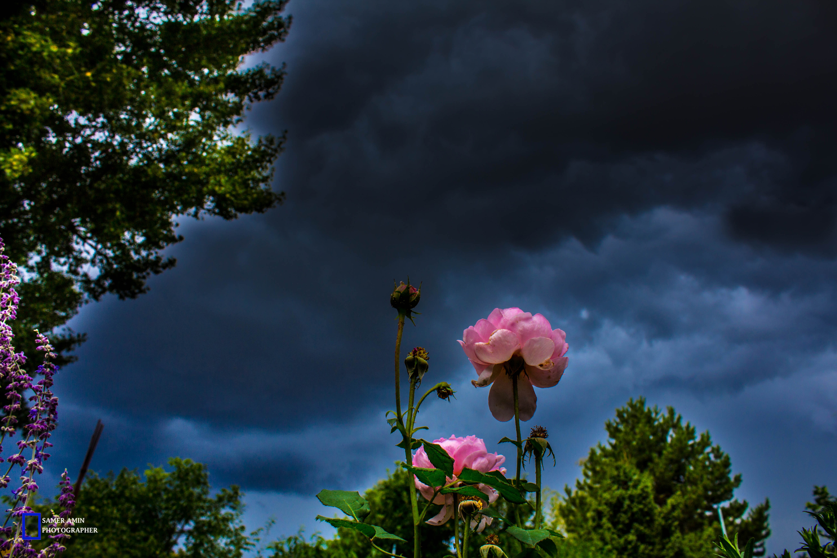 01_small rose under big storm